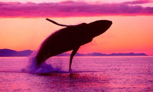 ballenas.en_.cayo_.levantado.01
